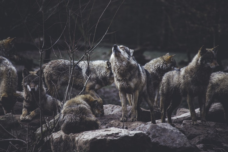 Wolves at one point could be seen ranging from the Arctic north all the way south into Mexico and from the Pacific to the Atlantic
