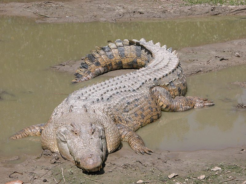 The biggest animal threat of all was neither the mosquitoes nor the snakes, but rather the massive saltwater crocodiles, which each can weigh more than a ton and reach more than twenty feet in overall length.