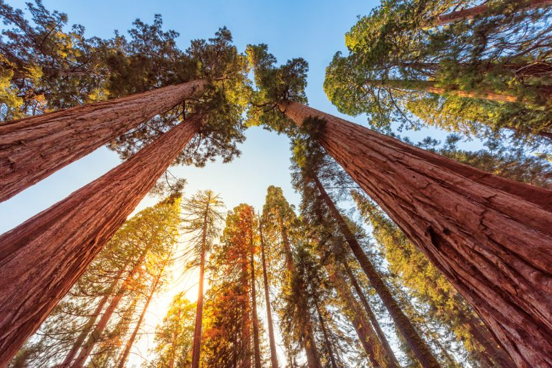 Redwoods have been referred to as nature's skyscrapers