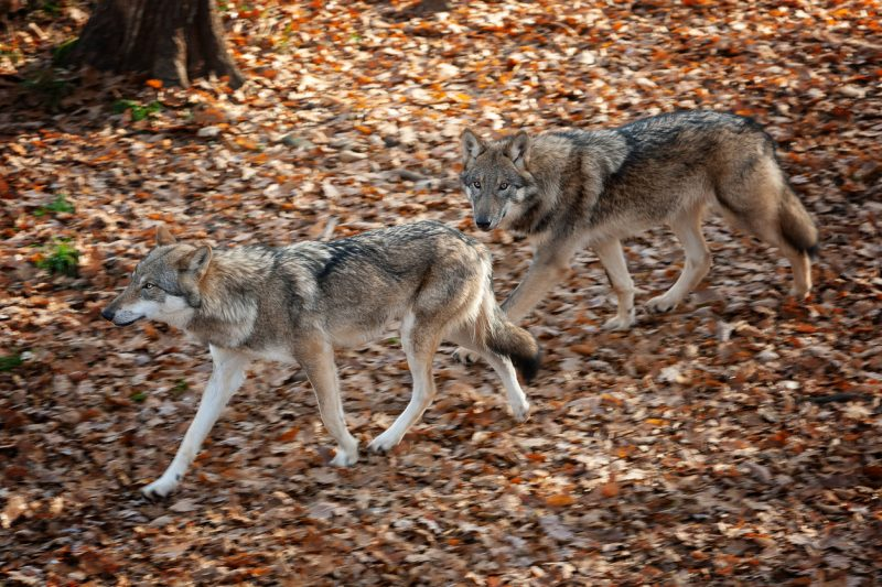 The many sanctuaries in the US will help increase public awareness and education about wolves to ensure that they continue to spread and flourish in the US and Canada