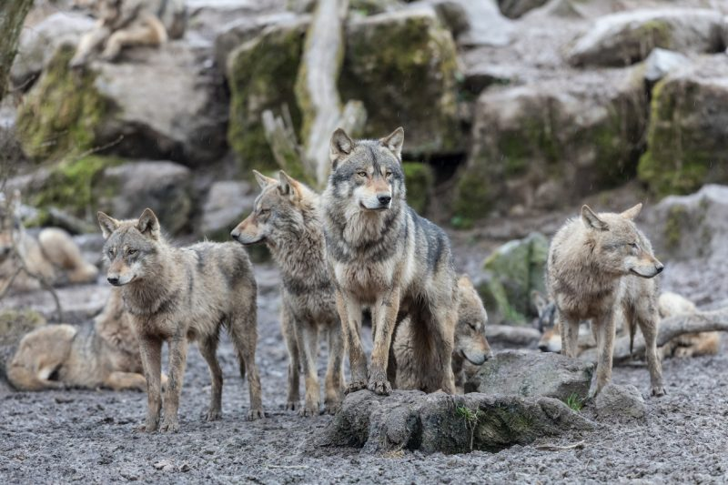 Wolves are a pack animal – typically together in groups of eight to twelve wolves, with pack size varying based on food availability.