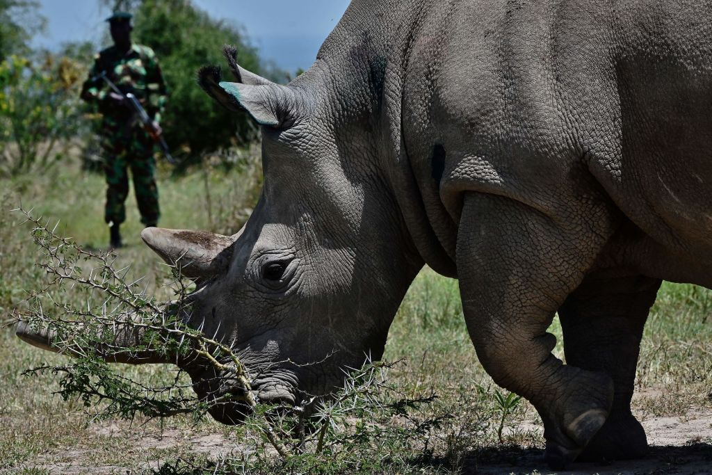 A Fatu, 19, grazes with her mother Najin (unseen), 30, two female northern white rhinos, the last two northern white rhinos left on the planet.  (Photo credit TONY KARUMBA/AFP/Getty Images)