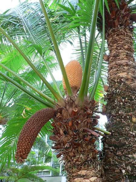 Now cones from both male and female Cycads have appeared, something which has never been recorded as happening before in the UK human history. Raul654 CC BY-SA 3.0