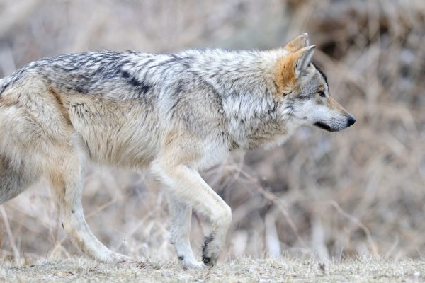 """canis lupus,"" the Latin name for grey wolf."