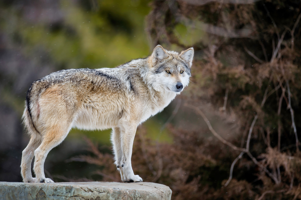 A grey wolf has been sighted near the border between Charente and Dordogne