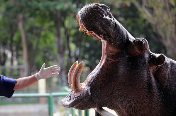 Orion, 9, was born in captivaty from a hippo once owned by drug lord Pablo Escobar. RAUL ARBOLEDA/AFP via Getty Images