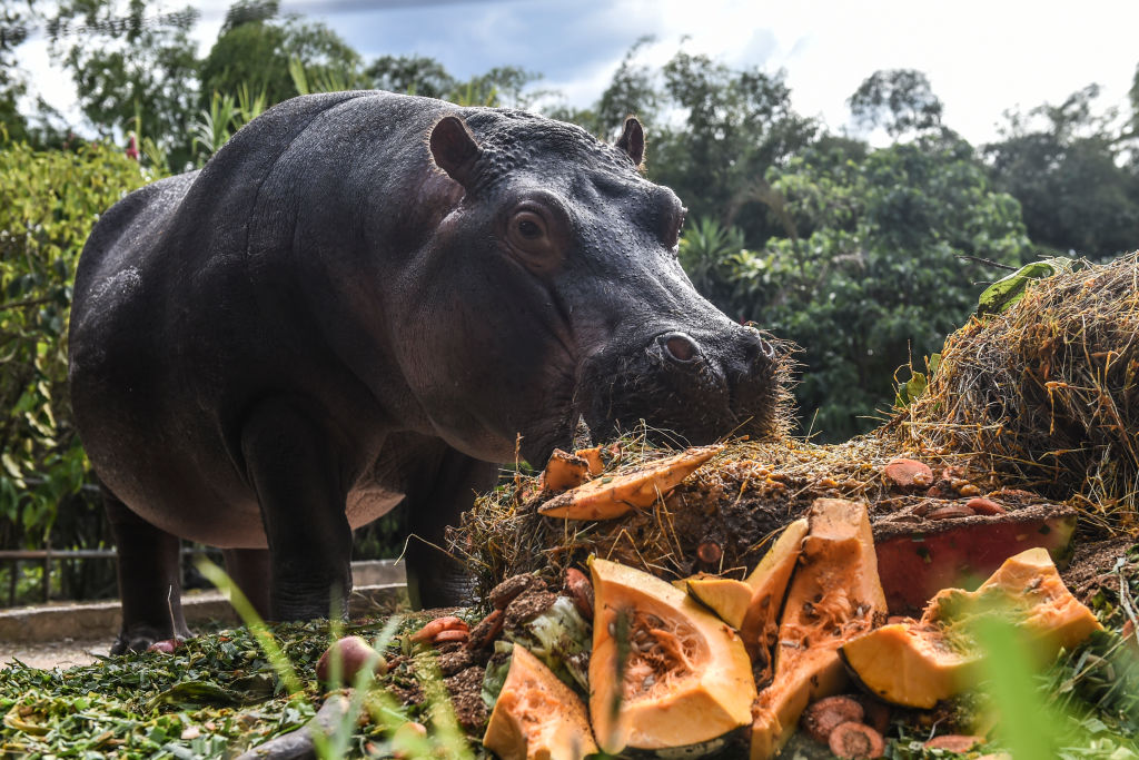 Jakira is the daughter of Pepa, who was part of the initial batch of animals imported by druglord Pablo Escobar JOAQUIN SARMIENTO/AFP via Getty Images