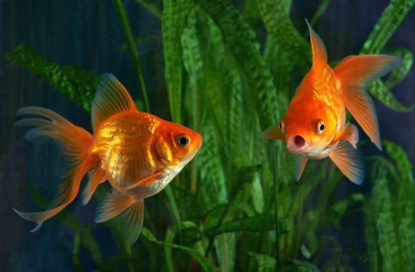 The 'humble' gold fish can turn into a MONSTER!