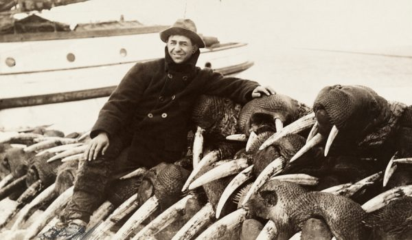 Hunter sitting on dozens of walruses killed for their tusks, 1911. Walruse ivory was still in demand then.