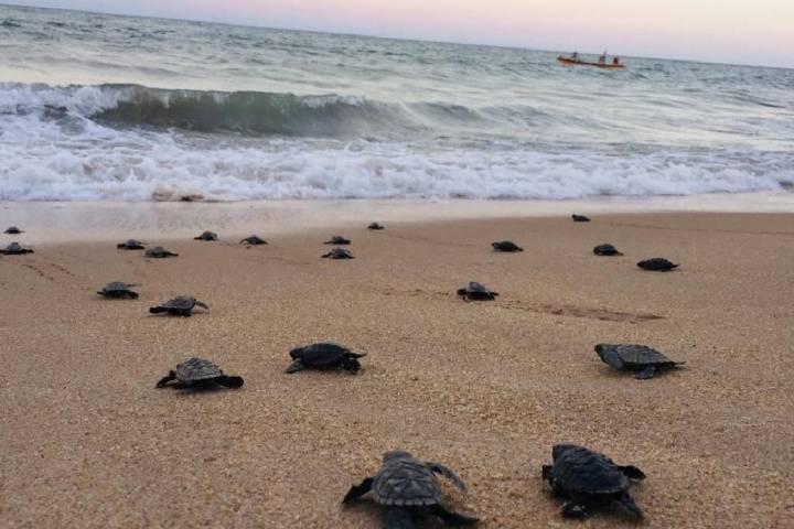 Hawksbill sea turtle hatchlings crawl toward the surf on Janga Beach in Paulista, Brazil, on March 22, 2020. Paulista City Hall