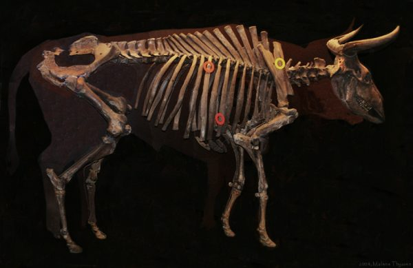 The Vig-aurochs, one of two very well-preserved aurochs skeletons found in Denmark. The circles indicate where the animal was wounded by arrows. Malene Thyssen CC BY-SA 3.0