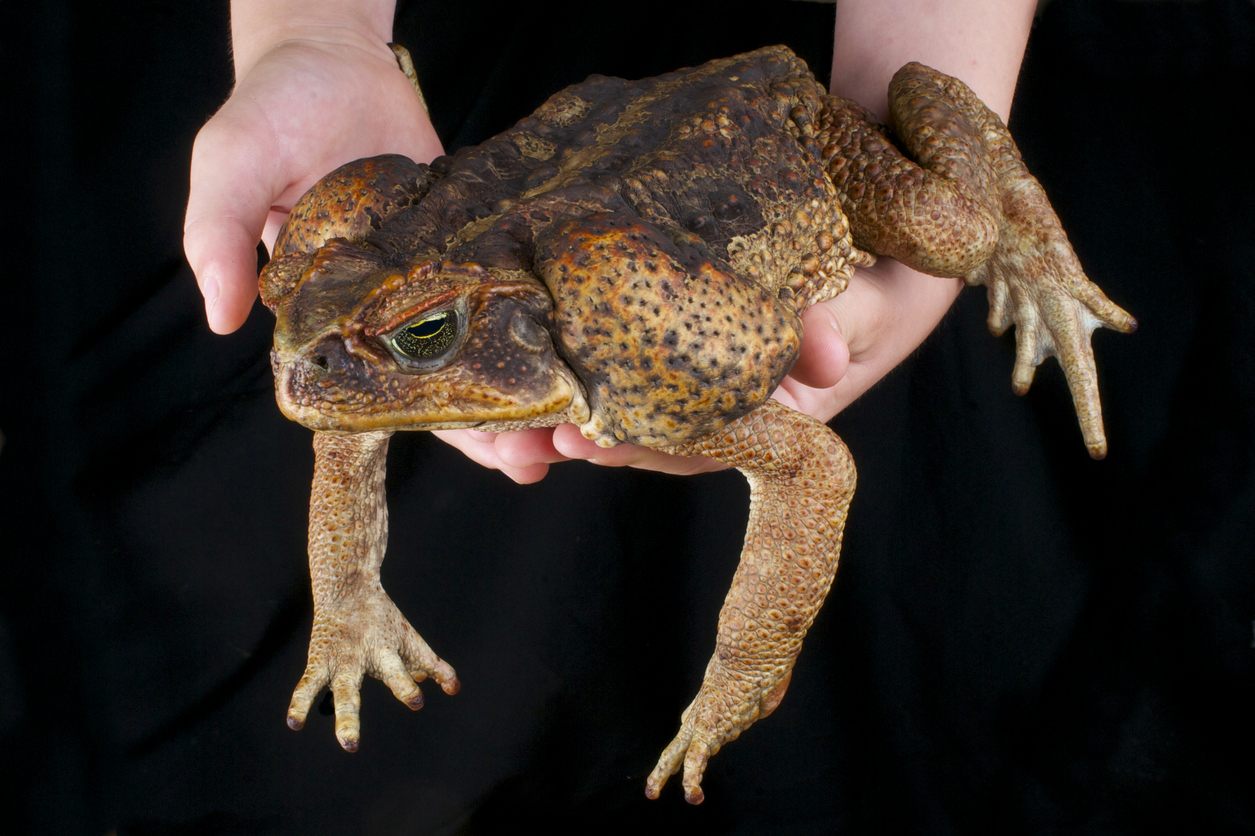 The Cane toad is  huge, and highly poisonous.