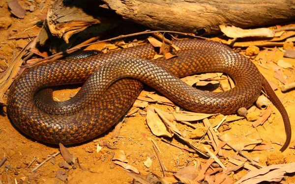 Western Brown snake. Andy-CC BY-SA 2.0