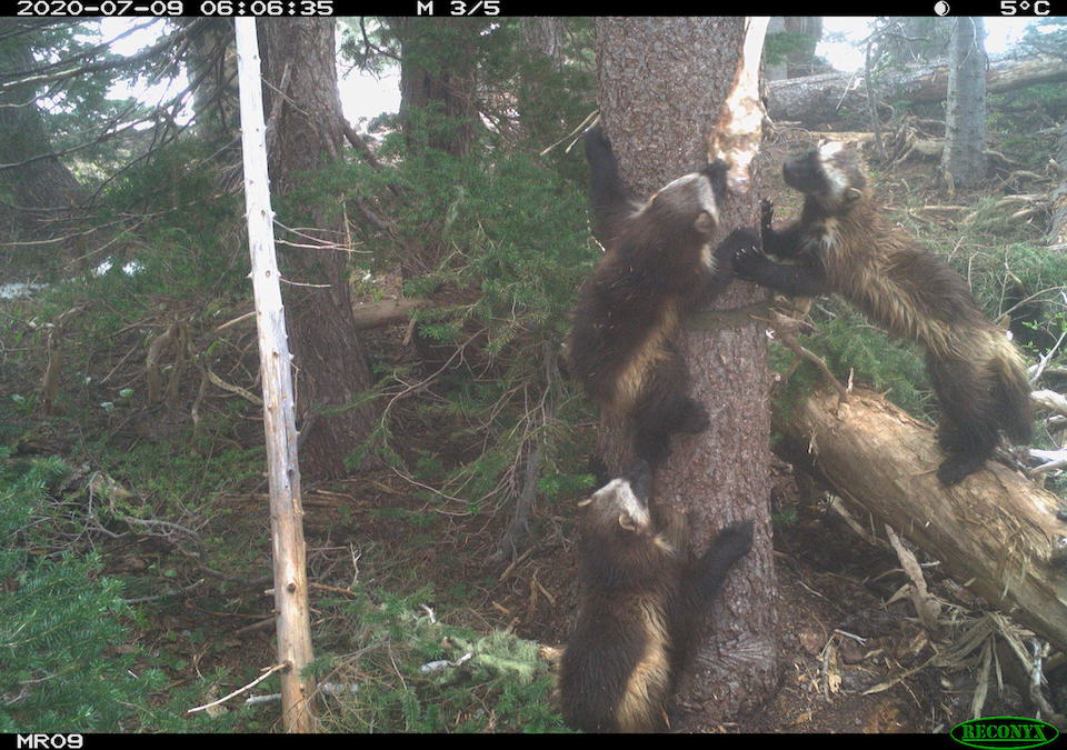 Mother and her two kits were caught on camera. NPS/Cascades Carnivore Project
