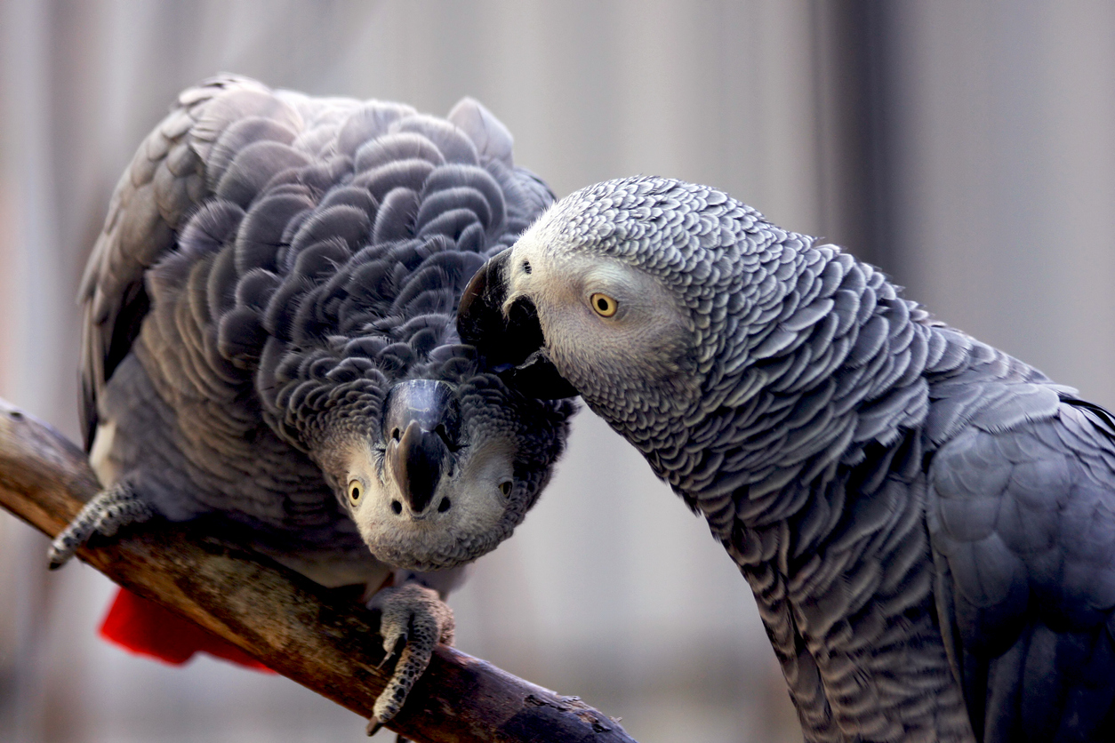 Potty-mouthed parrots split up by zoo