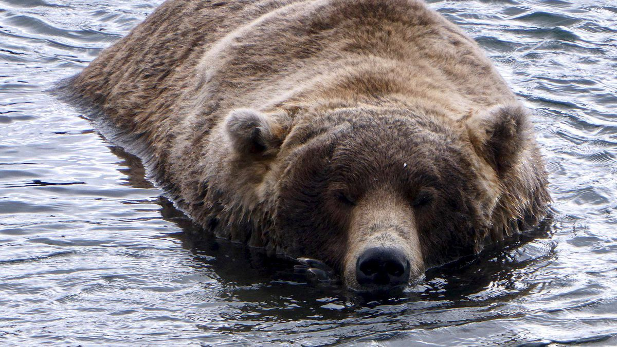 Bear 480 Otis is asleep in the middle of Brooks River at Katmai National Park and Preserve. Katmai's annual Fat Bear Week competition kicks off Wednesday. (N. Boak / National Park Service)