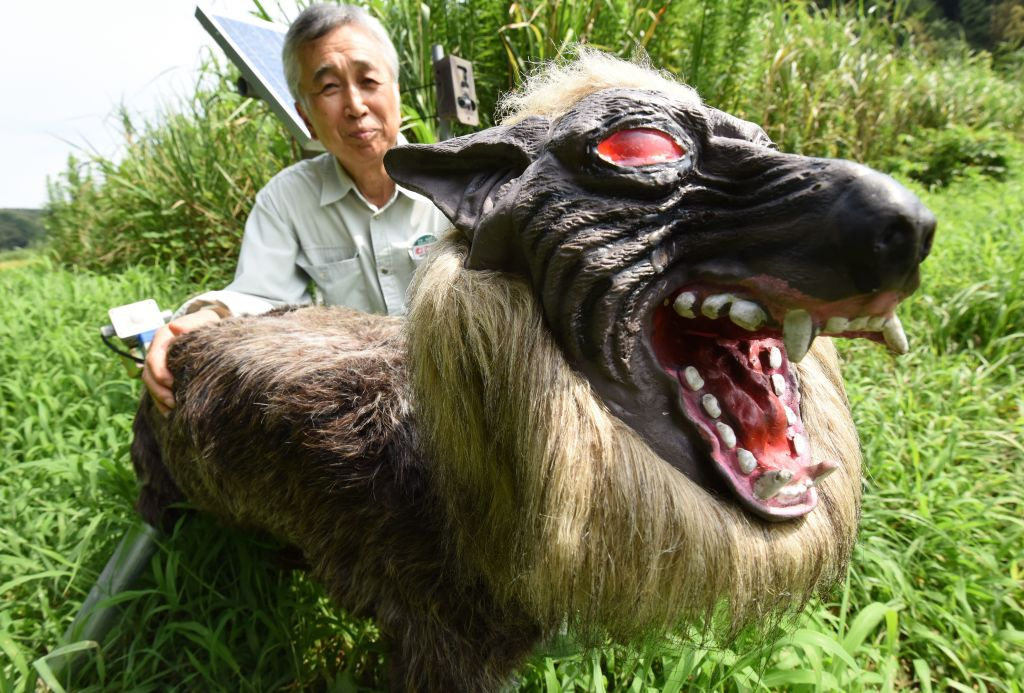 "Chikao Umezawa, head of the agricultural coopetative association JA Kisarazu-shi, shows a wolf-like robot ""Super Monster Wolf"" to drive away wild animals that cause damages to crops in Kisarazu, Chiba prefecture on August 25, 2017. The agricultural coopetative association JA Kisarazu-shi introduced the 65cm-long and 50cm-high robot recently on a trial basis which can detect wild animals such as boars and deers with an infrared ray sensor when they approach and intimidates them, flashing the red LED eyes and blaring 48 types of sounds including a wolf growl and human voice.  / AFP PHOTO / Toru YAMANAKA        (Photo credit should read TORU YAMANAKA/AFP via Getty Images)"