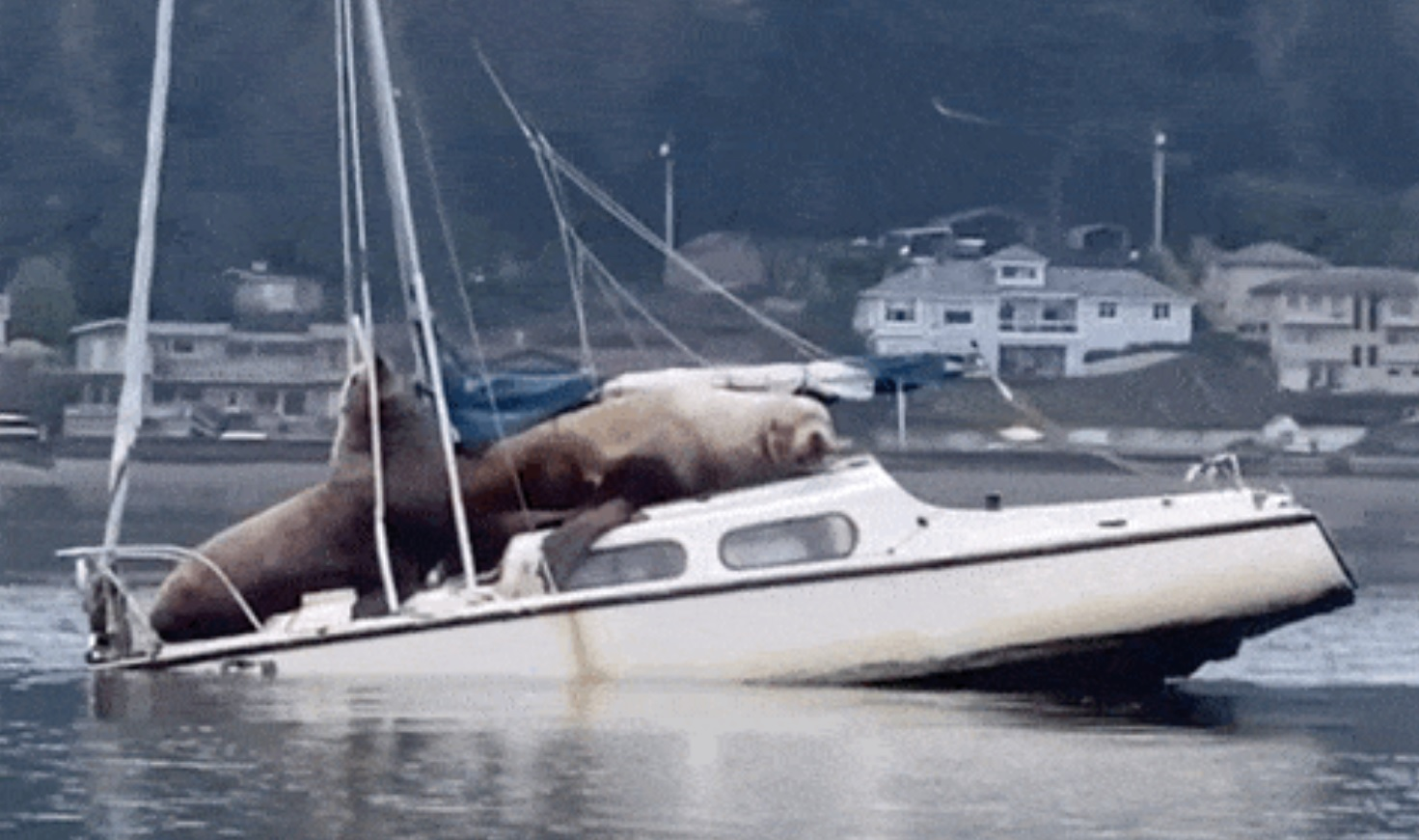 Footage of two Steller sea lions commandeering a small boat in Olympia, Washington has gone viral.