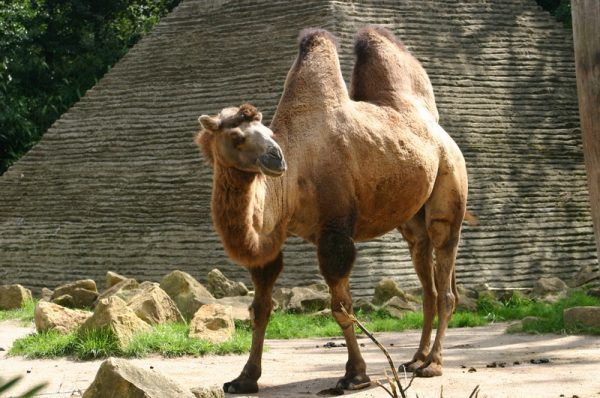 A shaggy two-humped camel. CC BY-SA 3.0