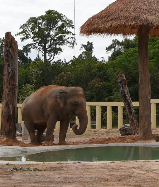 Newly arrived Asian elephant Kaavan drinks water in his new enclosure at the Kulen Prom Tep Wildlife Sanctuary in Cambodia's Oddar Meanchey province on December 1, 2020. (Photo by TANG CHHIN Sothy / AFP) (Photo by TANG CHHIN SOTHY/AFP via Getty Images)