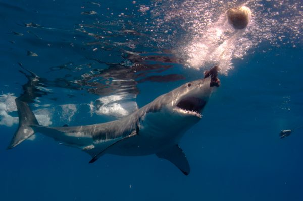 """Great White sharks are shrinking in numbers. This one, attacks the bait in blue water of Guadeloupe Islands, Mexico. The magnificent Great White Shark (Carcharodon carcharias). An endangered species that is becoming more rare to see in the wild."""